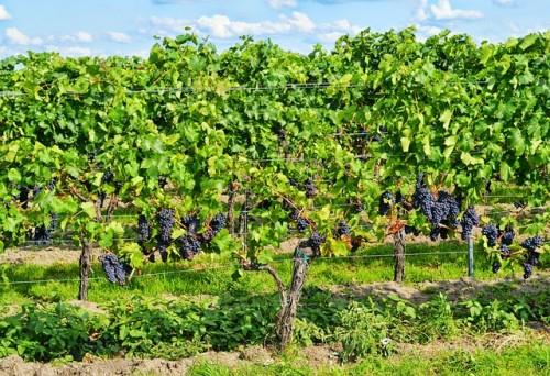 grapes-453107_640