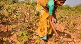 Inde : sauver les agriculteurs du suicide