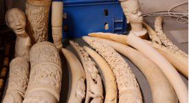 Succès pour la collecte d'objets en ivoire