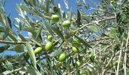 Un chemin de croix pour protéger les oliviers du sud de l'Italie